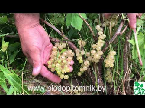 Смородина Белая Смольяниновой (Смольяниновская). Один из самых урожайных сортов смородины белой.