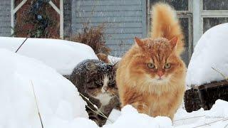 Siberian cats, Snowfall, Lapochka, Solnyshko, Pooh 2015 Сибирские кошки, Снегопад,  ЯНВАРЬ
