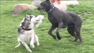 Husky Gets Fed Up with Energetic Cane Corso