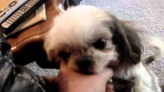 Meet Bea Bop A Shih Tzu Currently Available For Adoption At Petango.com! 3/24/2013 12:26:05 Pm