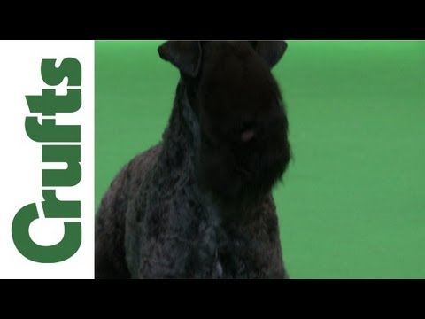 Crufts 2012 - Kerry Blue Terrier Best of Breed