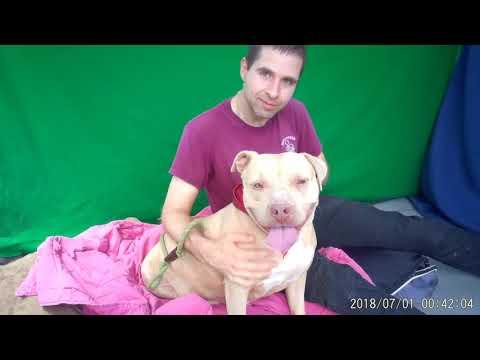 A5271682 Bella | Pit Bull/American Bulldog