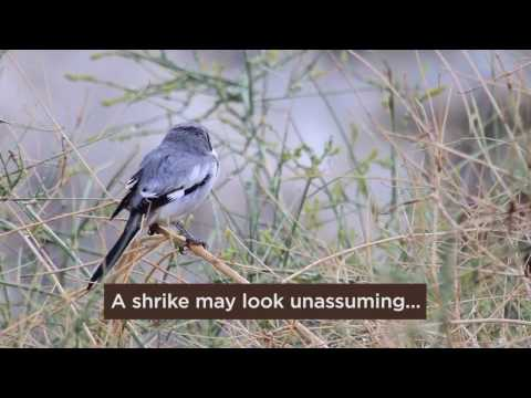 Bird of the Day: Shrikes | The Predatory Songbirds