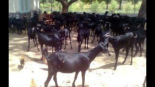 मला शेळीपालन करायचं आहे, पण ...भाग - 1|| I Want To Do Goat Farming But..... Part 1