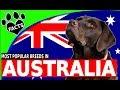 10 Most Popular Dogs in Australia