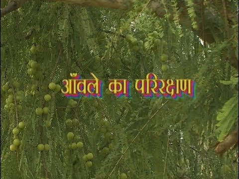 Krishi Darshan I Shelter of Amla I Amla's Properties, Benefits and Uses