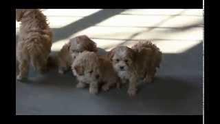 Peekapoo Puppies For Sale