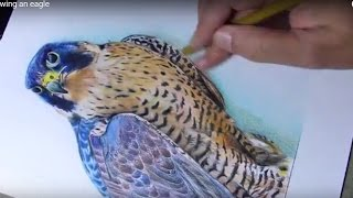 Drawing a peregrine falcon
