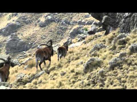 Äthiopien 2014 - Steinböcke (Walia Ibex) am Bwahit
