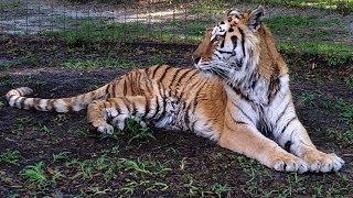 Carole Screams Like a Girl & NY Tiger Updates
