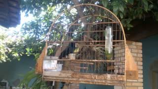 Pássaro Preto canto mateiro de minas dando show