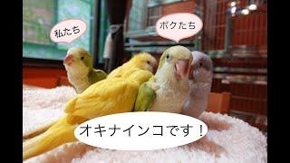【オキナインコの雛達】