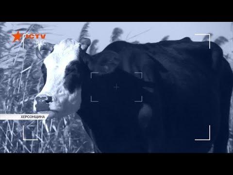 Корова з Херсонщини відправила 8-річну дівчинку в кому