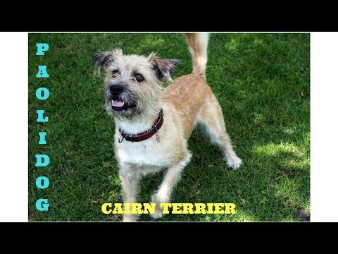 CAIRN TERRIER   (Top 10 interesting facts)