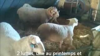 Nos moutons à la ferme