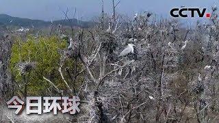 [今日环球] 北京密云:上万只鸟聚集 树顶鸟巢连片 | CCTV中文国际