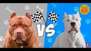 Dogo Argentino vs Pitbull Terrier Quien gana?