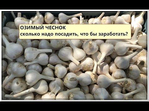 ОЗИМЫЙ ЧЕСНОК. Выгодно ли выращивать чеснок?