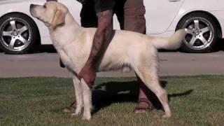 Www.susanalabradors.com  Chopper Yellow White Labrador