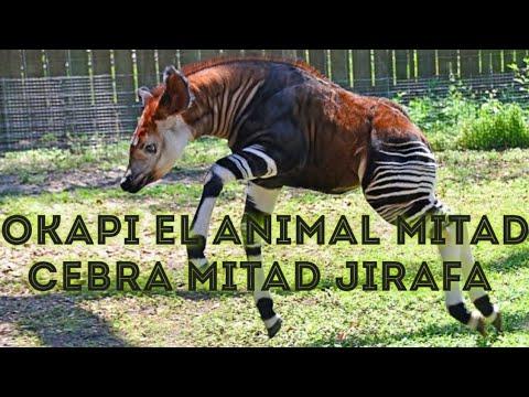 okapi el animal mitad sebra mitad jirafa