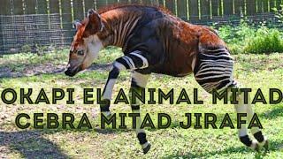 okapi el animal mitad cebra mitad jirafa