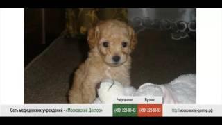 Аллергия на собаку породы   Пудель(, 2016-03-19T16:37:23.000Z)
