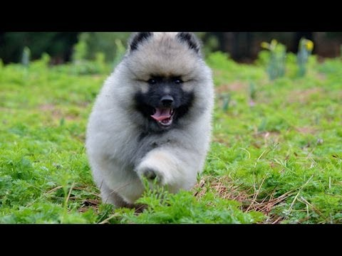 Keeshond Rescue 60 Seconds Of C...