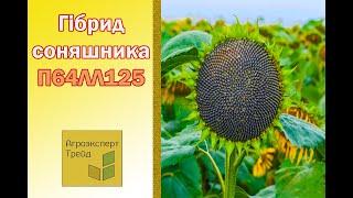 Подсолнечник П64ЛЛ125  🌻, описание гибрида 🌻 - семена в Украине