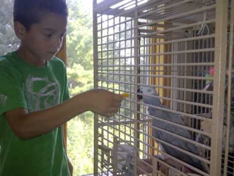 AUDIO: African Grey Parrot recorded talking to herself when no one was home! Her name is Laney