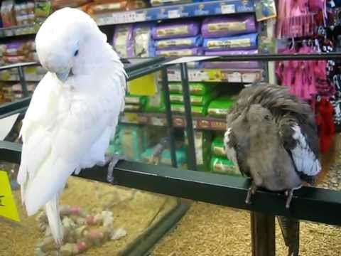 Cockatoo and a Cockatiel