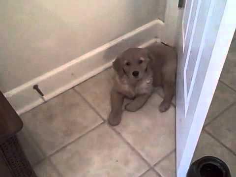 Golden Retriever Puppy vs Door Stop & Golden Retriever Puppy vs Door Stop - YouTube