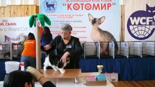 Шоу норвежских лесных кошек, Новосибирск, 31.01.2015г.