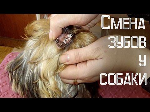 Вопрос: Сколько зубов у собаки породы ретривер?