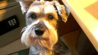 Gracie, The Mini Schnauzer Is Hungry