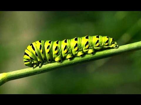 Caterpillar (Insect) - YouTube
