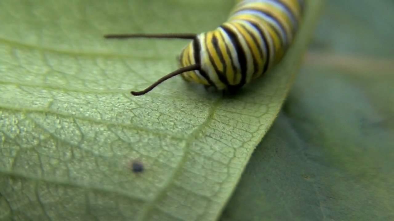 monarch caterpillar youtube