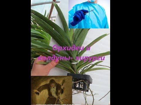 Орхидеи и колдуны - хирурги