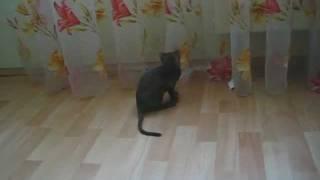 Шоколадный котенок корниш-рекс