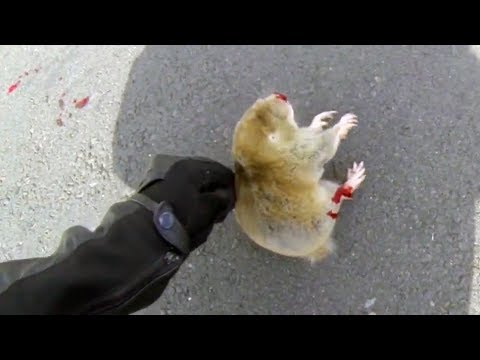 BIKER TRYING TO HELP DYING ANIMAL | BIKERS ARE NICE | Bikers