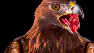 Golden Eagle Flying In Slow Motion   BBC Earth