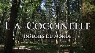 Insectes du Monde - La Coccinelle