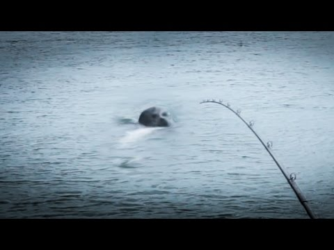 Seal Attacks Fishermen For King Salmon