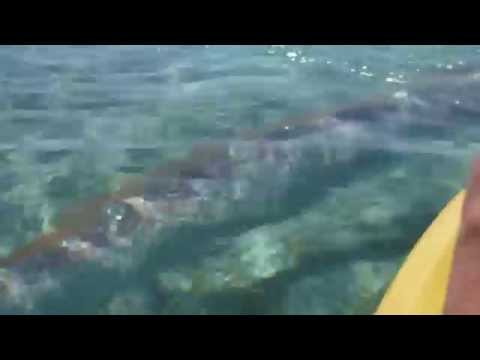 Giant Oarfish Swims Under Kayak