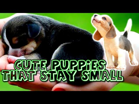 Cute Puppies That Stay Small And Don't Shed
