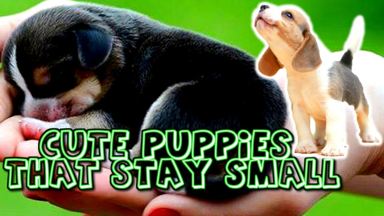 Cute Puppies That Stay Small And Don t Shed