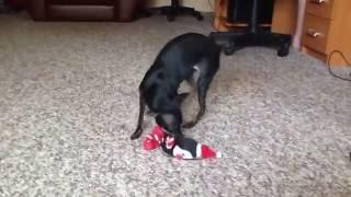 Смешная собака бешеная собака ржач той-терьер смотреть всем приколы смешные видео