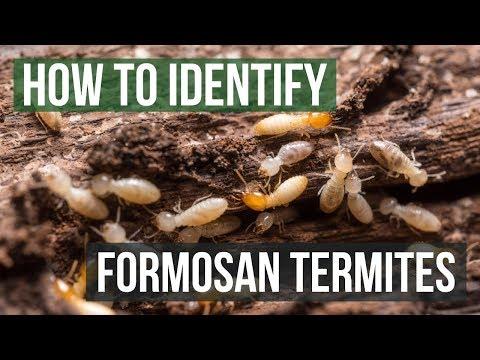 How to Identify Formosan Termites