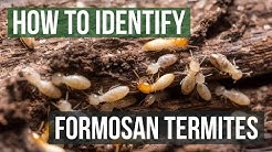How to Identify Formosan Termites