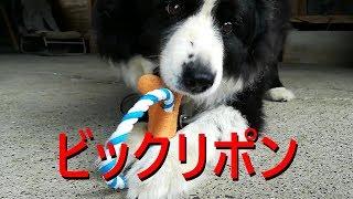 我が家の癒し系愛犬ハリーくんは音の出るおもちゃを買ってもらいました...