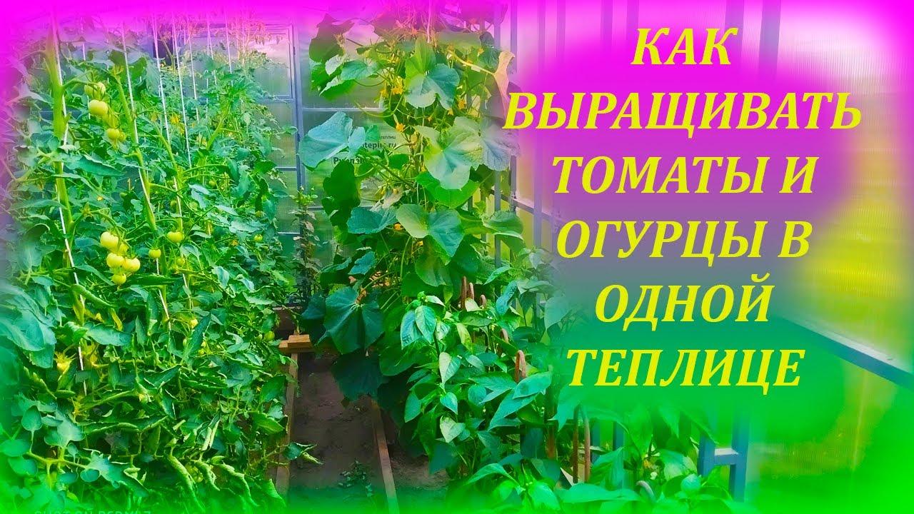 НЕ ВЫРАЩИВАЙТЕ помидоры и огурцы в одной теплице, пока не посмотрите это видео, а потом выращивайте!